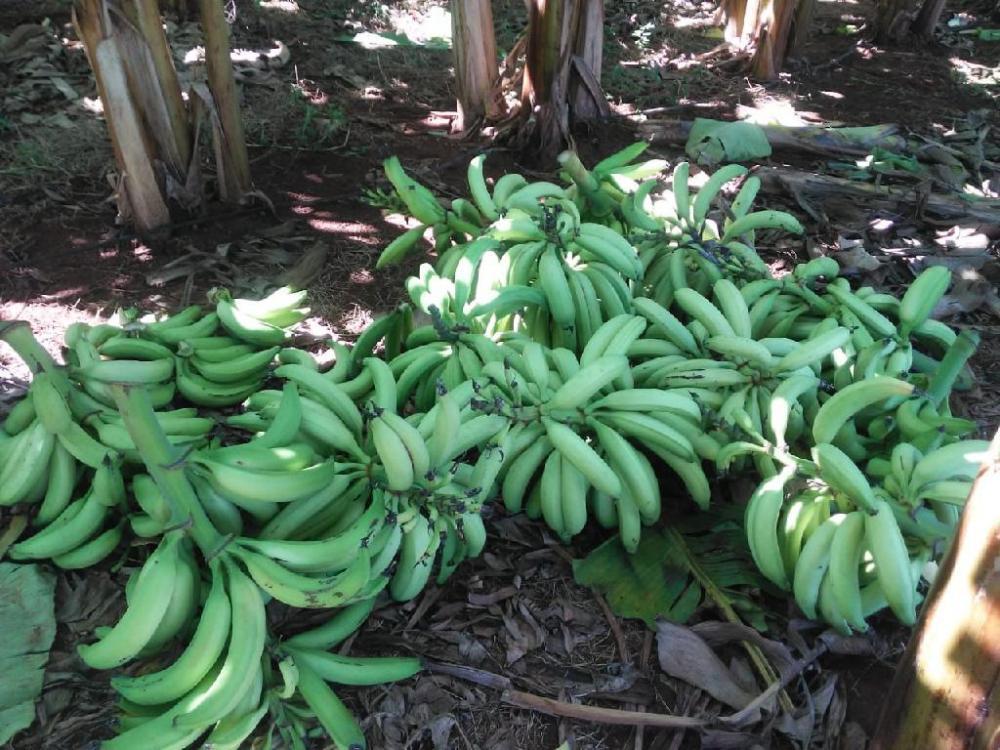 Cultivo de banana da terra em sistema adensado pode obter aumento de até 75% na produtividade