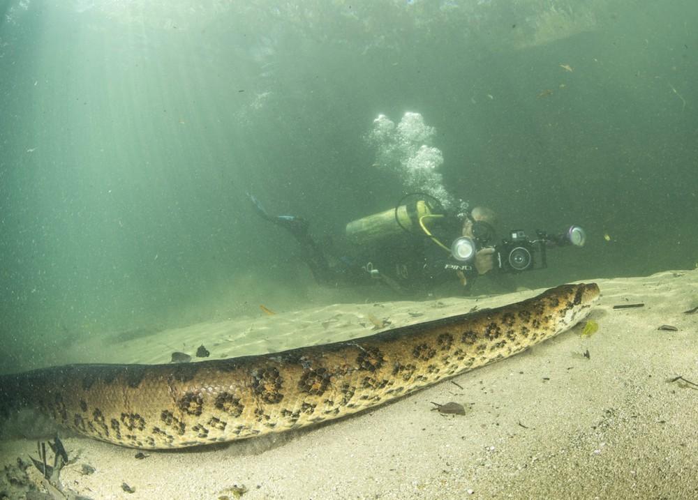 Sucuri 'posa' para foto e até lambe a câmera em rio de águas transparentes no MS